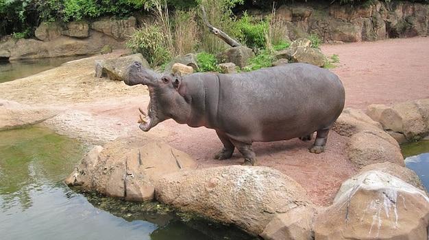 Avontuur saksen hannover zoo lager nijlpaard