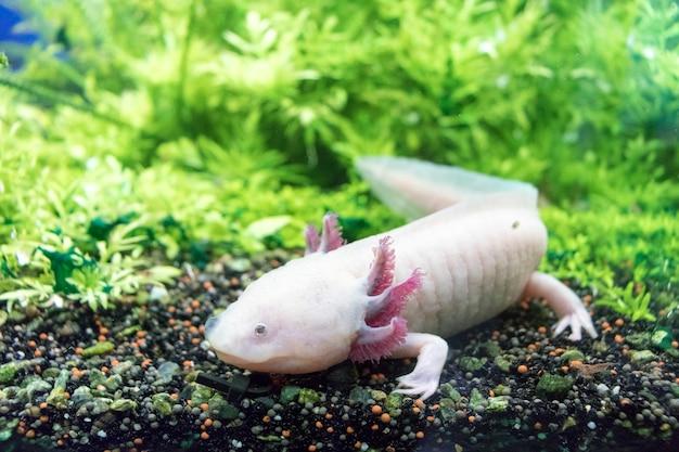 Axolotl mexicaanse wandelende vis ambystoma mexicanum op zandbodem van aquarium