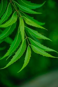 Azadirachta indica - een tak van neembladeren. natuurlijk medicijn.