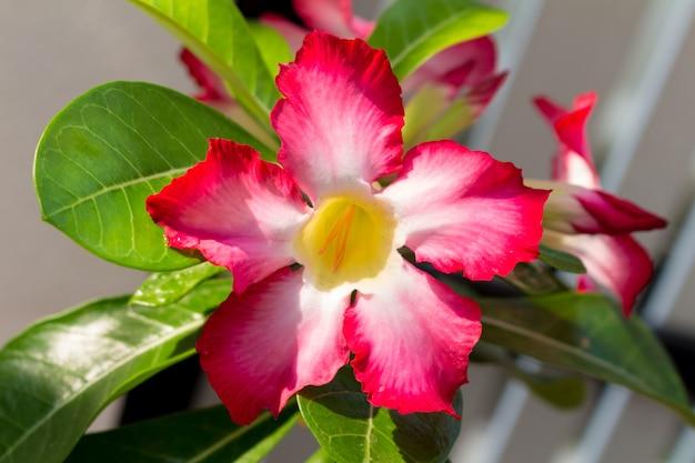 Azalea bloem close-up