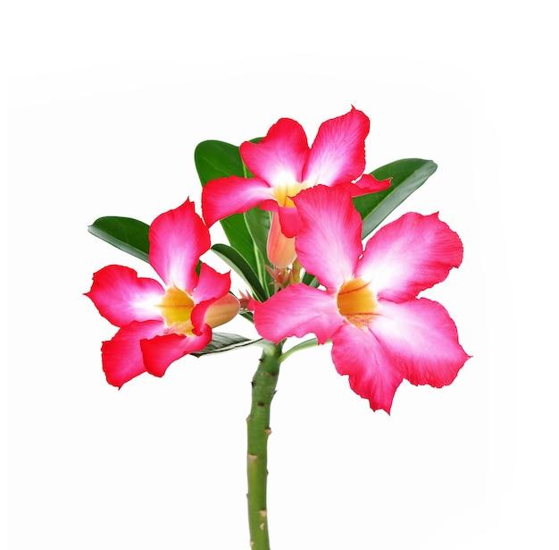 Azalea bloemen vers geïsoleerd op wit.