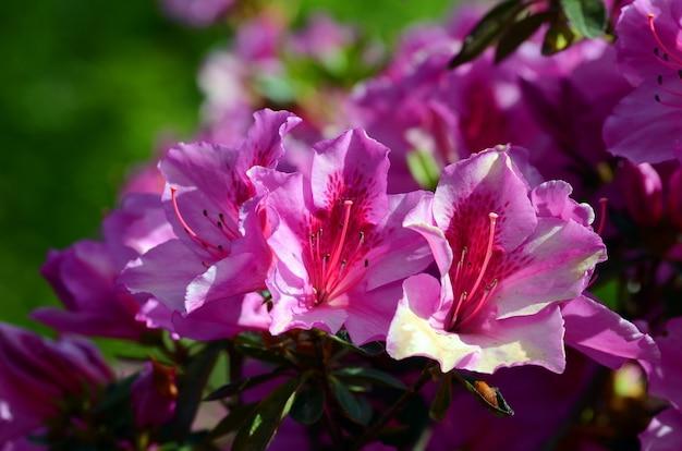 Azalea japonica hino karmozijnrood arboretum van de universiteit van baskenland. leioa, spanje
