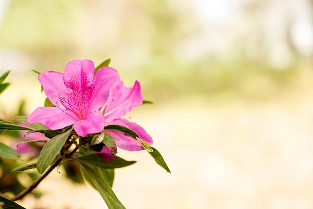 Azalea of rhododendron bloemen op natuurlijke achtergrond.