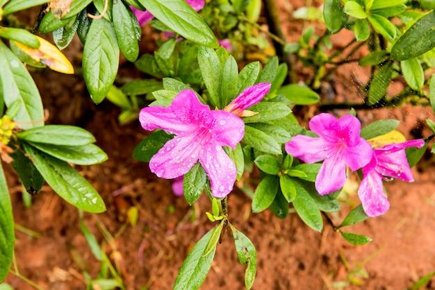 Azalea of rhododendron indicum verlaagt op de achtergrond van de natuur.