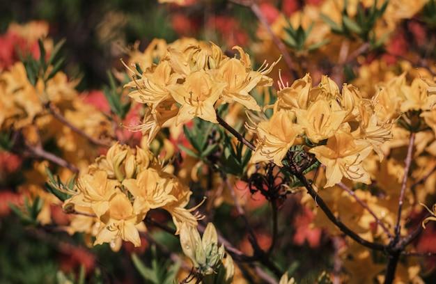 Azalea's bloemen