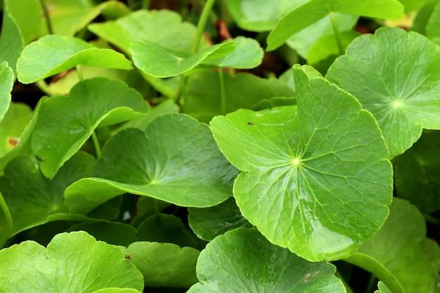 Aziatisch blad in natue