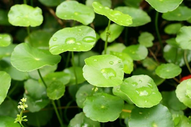 Aziatisch blad met waterdaling