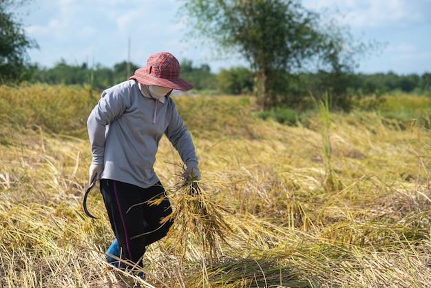 Aziatische boer in het veld. boer oogsten in het oogstseizoen.
