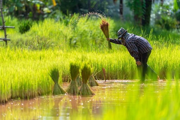 Aziatische boer transplantatie rijst zaailingen in rijst veld, farmer aanplant rijst in het regenseizoen.