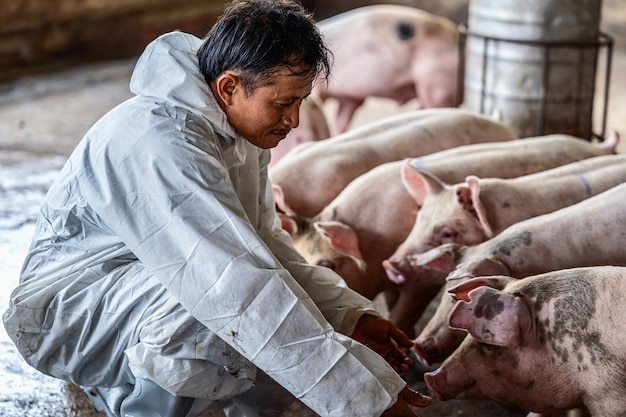 Aziatische dierenarts die en het varken in varkensfokkerijen, dier en varkensboerderijindustrie werkt controleert