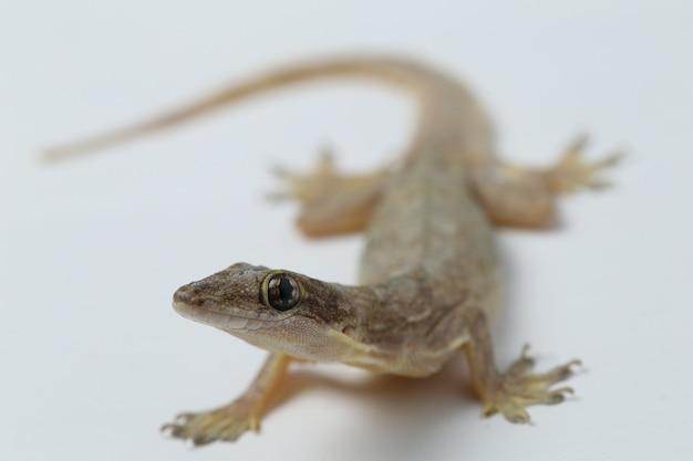 Aziatische geïsoleerde huishagedis of gemeenschappelijke gekko