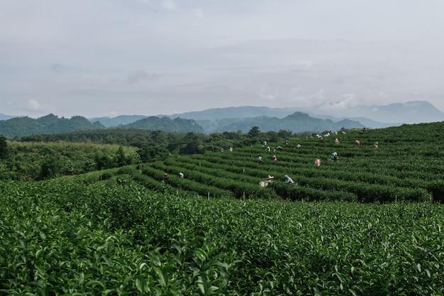 Aziatische groepslandbouwer die in de weelderige velden van een terrasvormige boerderij werkt.