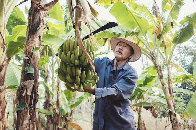Aziatische hogere landbouwer die groene banaan oogst