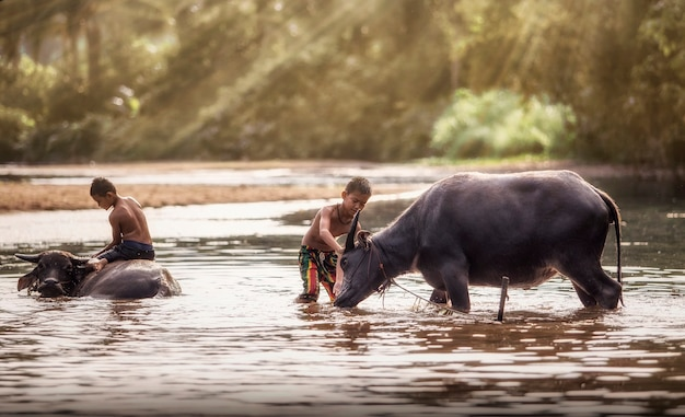 Aziatische jongen die van het spelen van met buffels geniet
