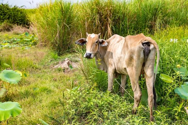 Aziatische koe op boerderij in de buurt van siem reap, cambodja