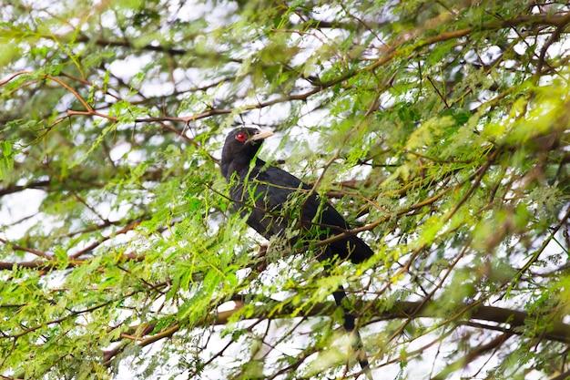 Aziatische koel, man, eudynamys scolopaceus, neergestreken op een boomtak, rood oog, zwarte veer