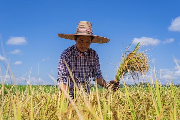 Aziatische landbouwer die in het padieveld onder blauwe hemel werkt