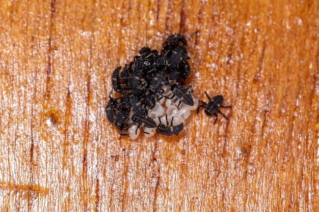 Aziatische lieveheersbeestje larven van de soort harmonia axyridis die uit eieren komen