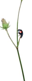 Aziatische lieveheersbeestje, of japans lieveheersbeestje of het harlequin-lieveheersbeestje - harmonia axyridis