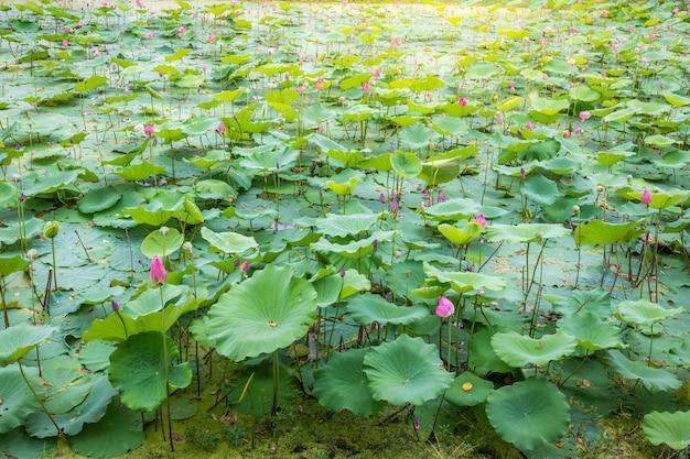 Aziatische lotus-vijverslandschap in het meer in vreedzaam en stil platteland.