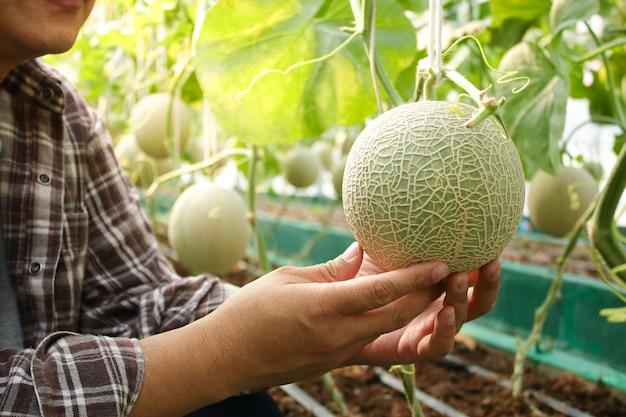 Aziatische mannelijke boeren telen meloenen in grote kassen