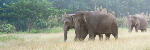 Aziatische olifant die op vuil grasrijke weg tijdens de zomerdag bij het park van de olifantsaard lopen, banner voor reclame