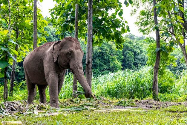Aziatische olifant geniet van eten in natuurpark, thailand