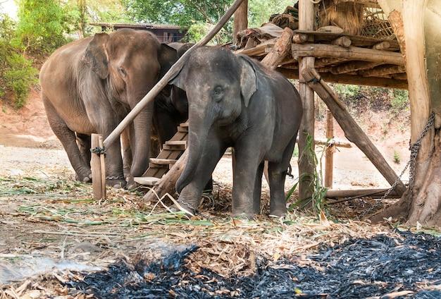 Aziatische olifant in beschermd natuurpark bij chiang mai, noord-thailand
