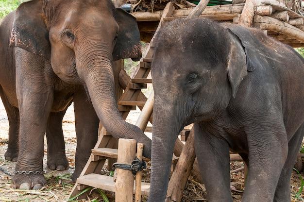 Aziatische olifant in beschermd natuurpark in de buurt van chiang mai, noord-thailand