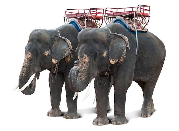 Aziatische olifant voor de natuurlijke toeristenreis van thailand die op wit met het knippen van weg wordt geïsoleerd