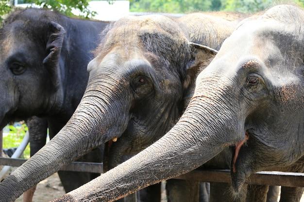 Aziatische olifanten.