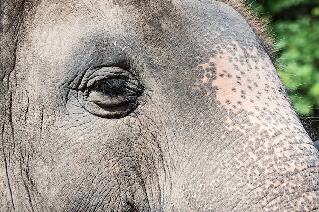 Aziatische olifantenogen.