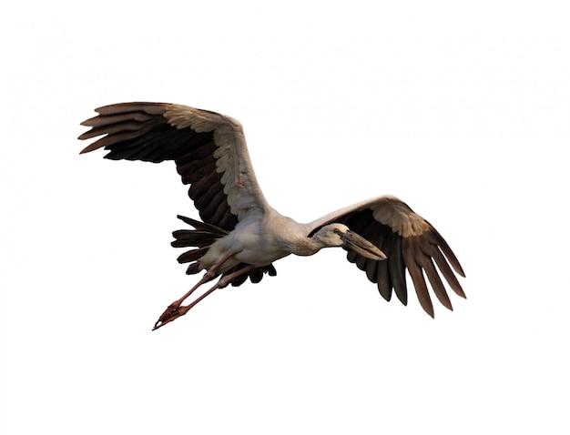 Aziatische openbill-voorraad die op wit vliegen