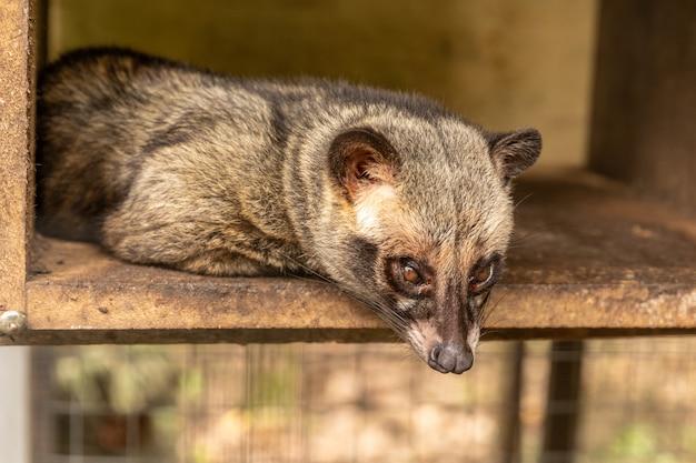 Aziatische palm civet, paradoxurus hermaphroditus, levend in een kooi om dure koffie te produceren, kopi luwak