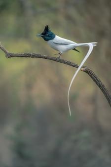 Aziatische paradijsvliegenvanger, terpsiphone paradisi