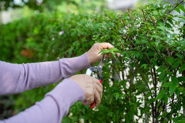 Aziatische senior of oudere oude dame vrouw trimt de takken met een snoeischaar voor het verzorgen van de tuin in huis, hobby om te ontspannen en te oefenen met gelukkig.