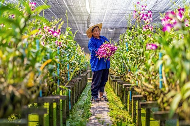 Aziatische tuinman van orchideeënkwekerij die de orchideeën snijdt en verzamelt