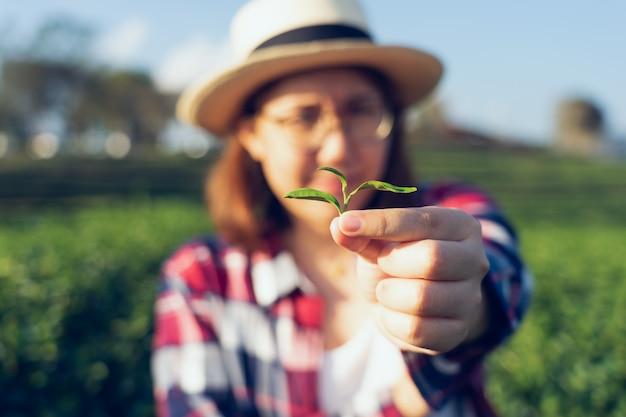 Aziatische vrouw die de theebladen van de theeaanplanting met de hand plukt