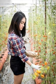 Aziatische vrouw die verse organische tomaten in haar tuin op een zonnige dag oogsten. boer tomaten plukken. groenteteelt. tuinieren concept