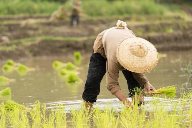 Aziatische vrouw op het padieveld, landbouwer die rijstspruit in thailand planten