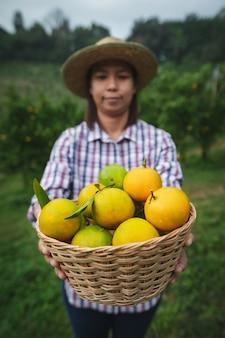 Aziatische vrouwentuinman die een mand sinaasappelen houdt die en sinaasappelen in de tuin van het sinaasappelenveld in de ochtendtijd tonen.