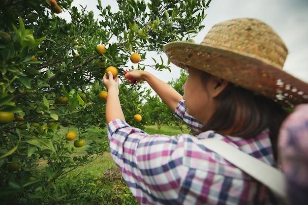 Aziatische vrouwentuinman die met de mand op rug een sinaasappel plukt met een schaar in de tuin van het sinaasappelsveld in de ochtendtijd.