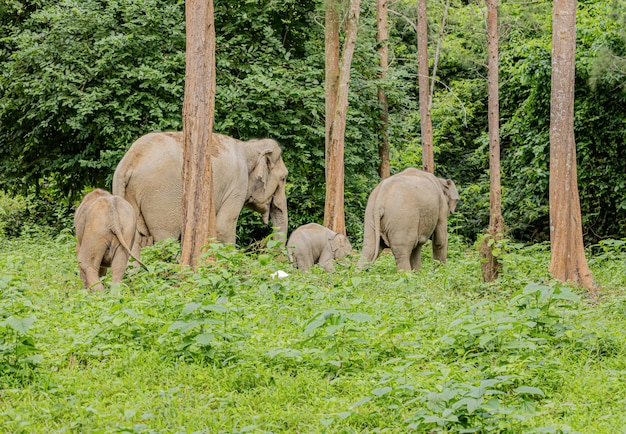 Aziatische wilde olifanten zien er in het regenseizoen erg blij uit met eten
