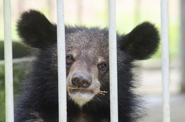 Aziatische zwarte beer (ursus-thibetanus) wordt in een kooi voor abstract gebruikt