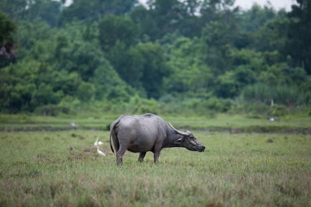 Azië buffels in boerderij