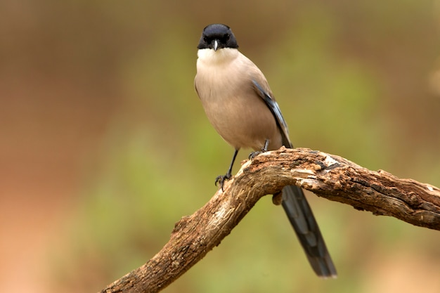 Azuurvleugelige ekster, vogels, corvidae, azuurblauw, ekster, vogels`` cyanopica cyanus