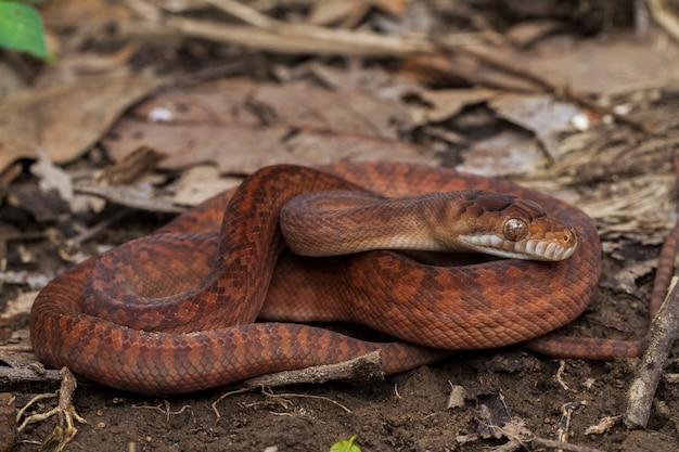 Baby amethystine python slang