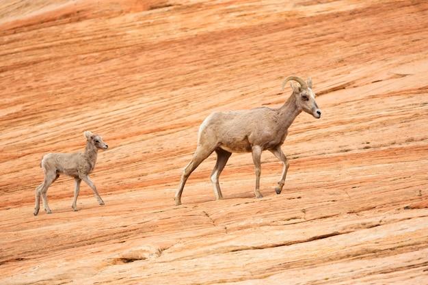 Baby bighorn lamb volgt moeder