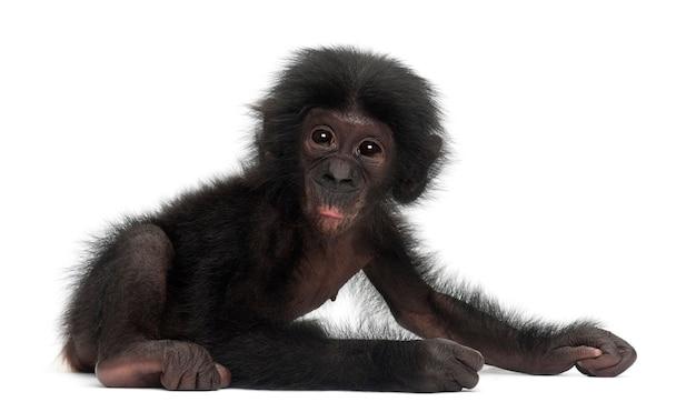 Baby bonobo, pan paniscus, 4 maanden oud, zittend tegen witte ruimte