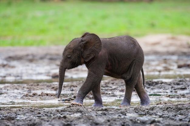 Baby bosolifant. centraal afrikaanse republiek. republiek congo. dzanga-sangha speciaal reservaat.